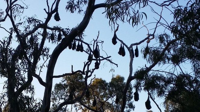 flying fox, Yarra Bend Park, wildlife, Melbourne, fruit bat, nature