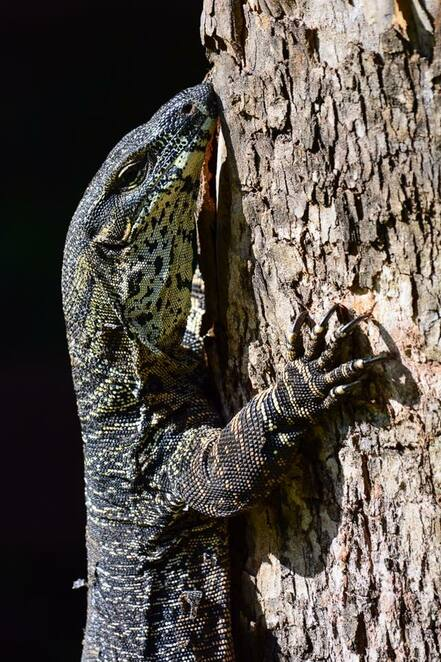 Goannas can be seen around the campsite, and will steal food if given the opportunity