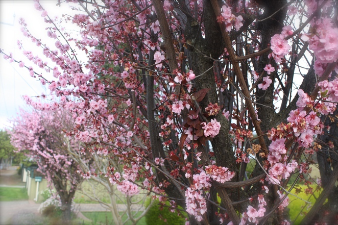 Pink Blossom time with Double Pink Flowering Plum