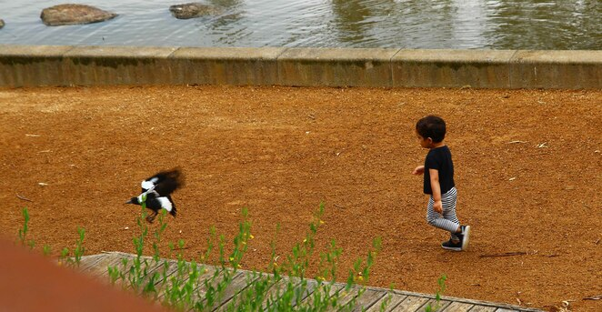 chasing a magpie