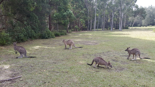 Kangaroo spotting at Morisset
