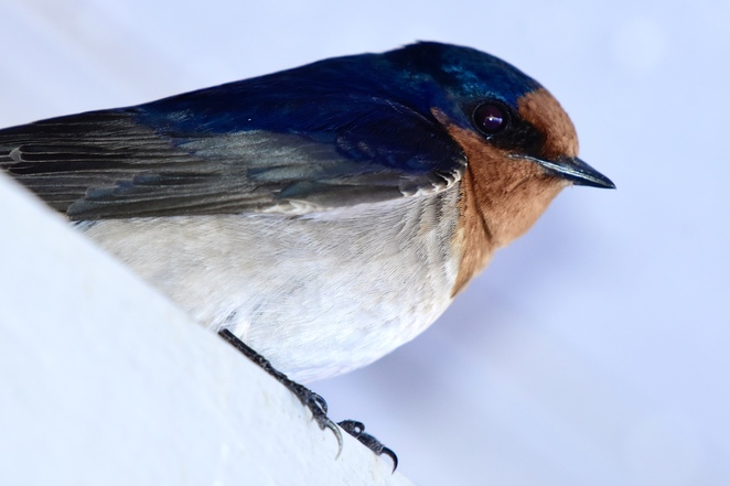 A welcome swallow enjoying the shelter of the Kinaba Visitor Information Centre