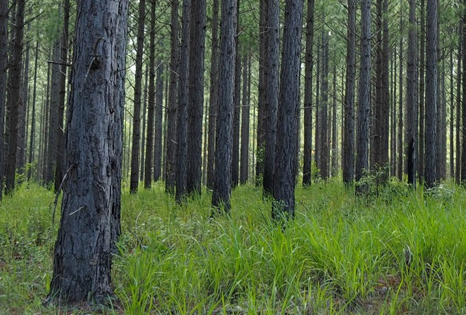 pine forests, timber industry