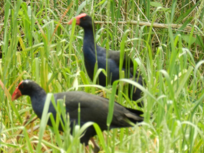 purple swamp hen, birdwatching in melbourne, jells park, birdwatching, birding in melbourne, parks in melbourne,