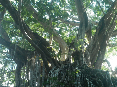 Treetops of the Curtain Fig