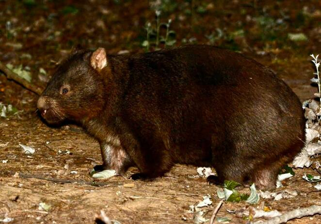 A wombat doing the round of the campsite after dark