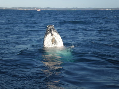 whale watching, whales, hervey bay