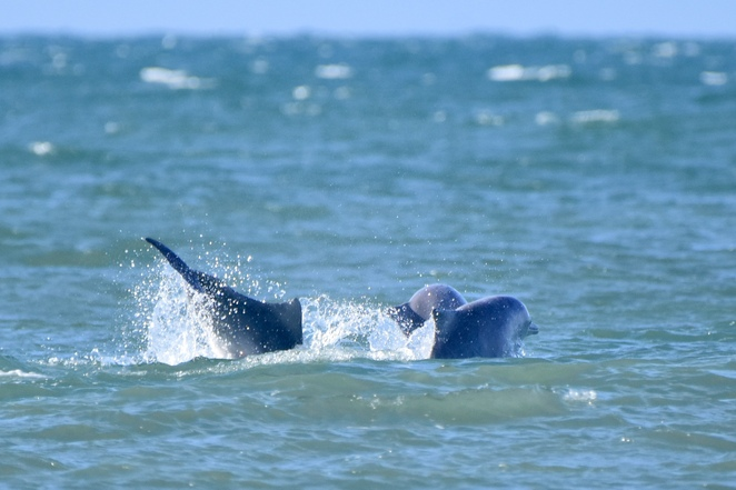 Australian humpback dolphins playing at Woorim Beach