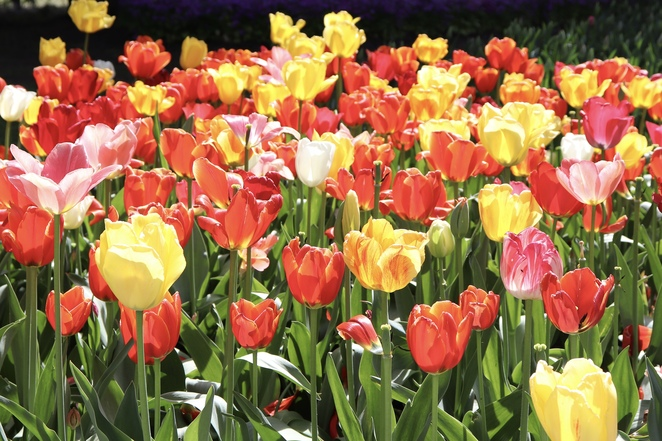 Canberra, flower festivals, spring, tulips, gardens, things to do in Canberra, Tulip Top Gardens