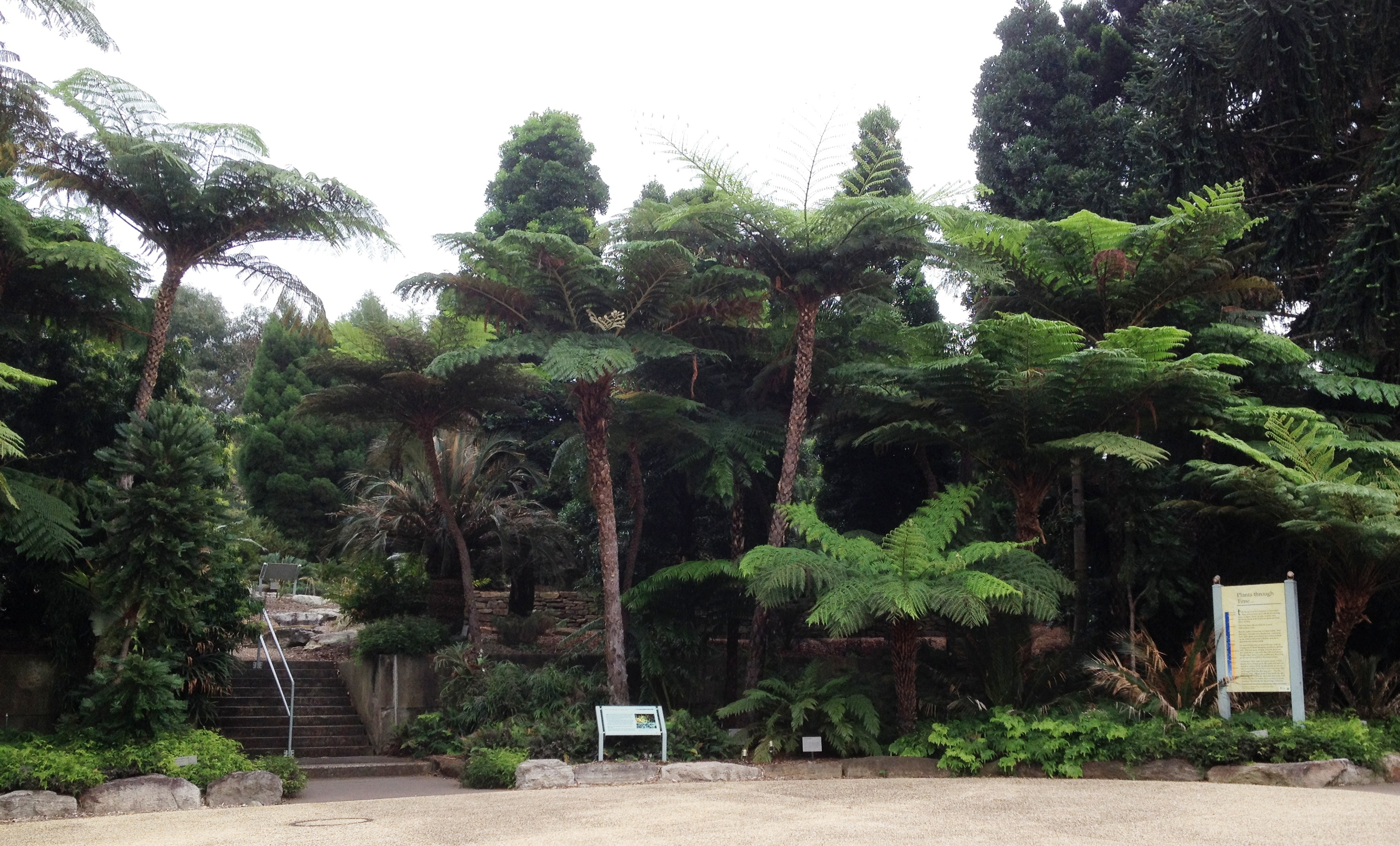 Where To Find The Wollemi Pine In Sydney Sydney