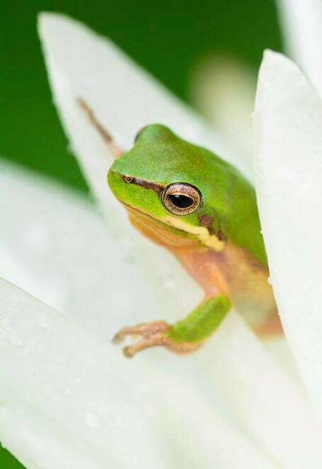 An eastern sedge frog emerging from a lily's petals
