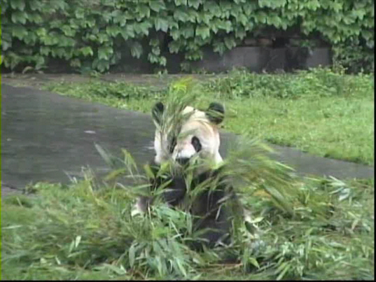 Giant Panda at Chongqing zoo