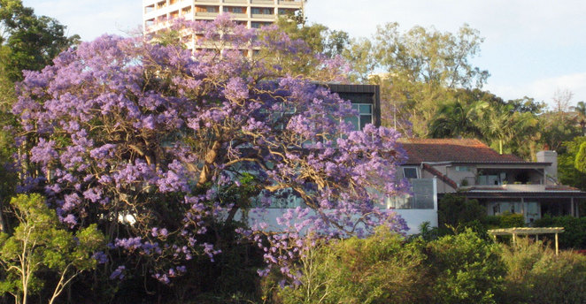Jacaranda tree seen from Brisbane River