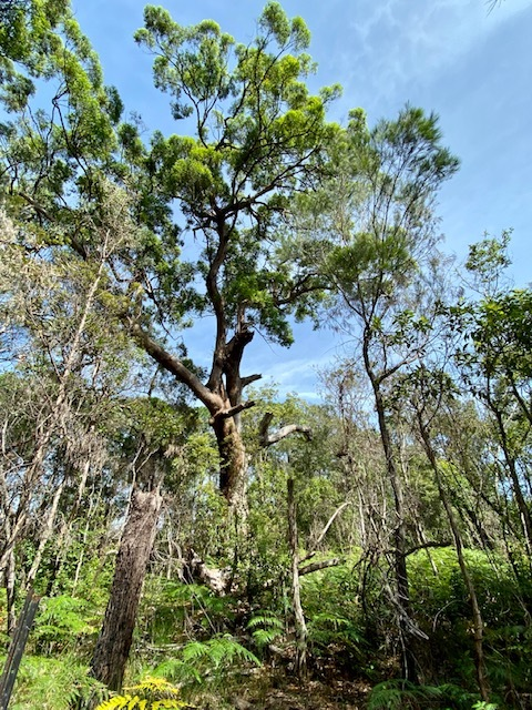 Tallowwood tree at Redlands Indigiscapes