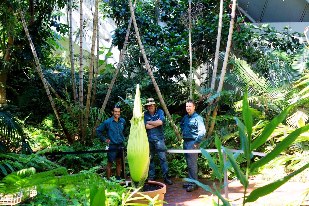 The Blooming Of The Corpse Flower Adelaide