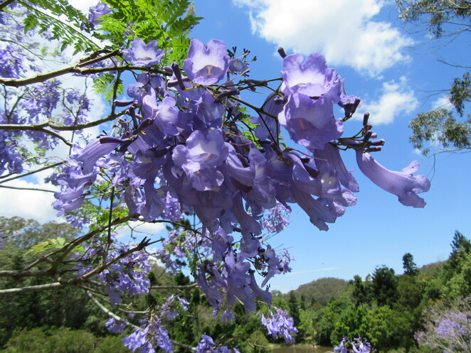 Cafe in the Mountains Mount Nebo Mount Glorious Hiking in D'Aguilar National Park Wildlife Magpie Jacaranda trees