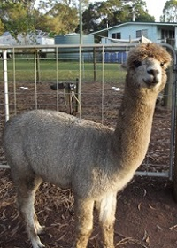 Fun things to do, Alpacas, Kids, Family, Outdoor, Educational, Animals
