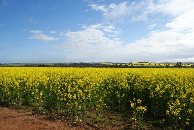Golden Canola contrasting with the Orange Soil of the land