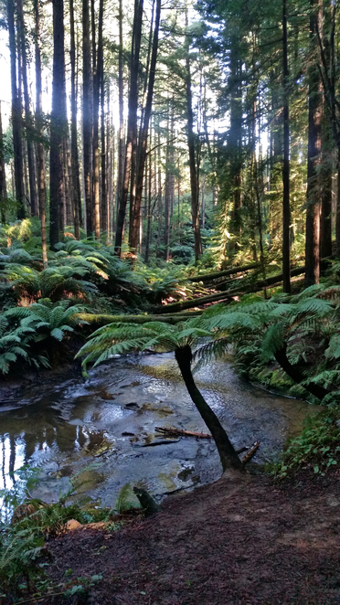 redwoods, Otways, Californian Redwoods, Redwood Forest, Picnic Area, Picnic Table, Picnic Spot, Otways Picnic Spots, Redwood Forest Picnic Area, Trees, Californian redwoods, tall trees, forest, aire river, stream, water, forest stream,