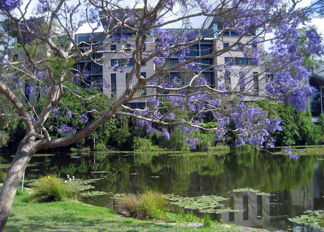 The University of Queensland is favourite place to visit during jacaranda season