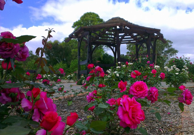 willunga rose garden