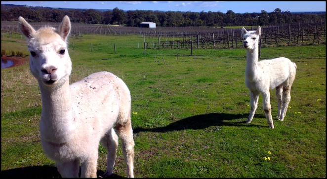 alpacas, gemtree vineyard, gemtree cellar door, gemtree wines, biodymanic vineyard, biodynamic farming, organic wine, mclaren vale, fleurieu peninsula, south australia