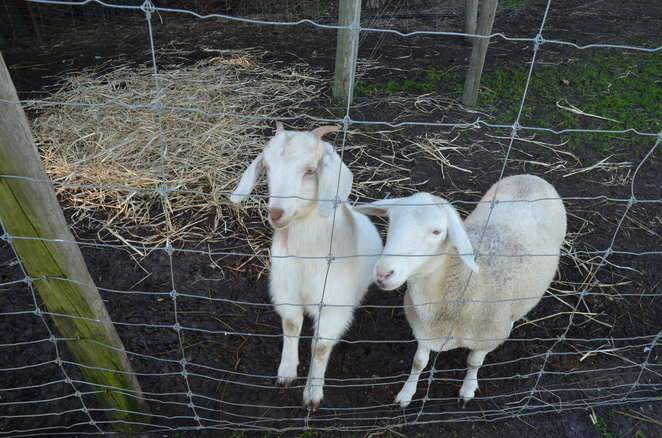 Goolwa Animal Farm, petting zoo