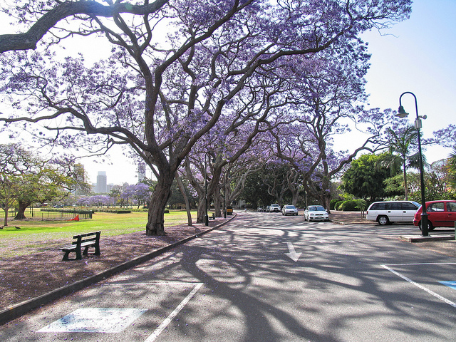 Jacarandas at New Farm Park (Attribution: Flickr - bert knottenbeld)