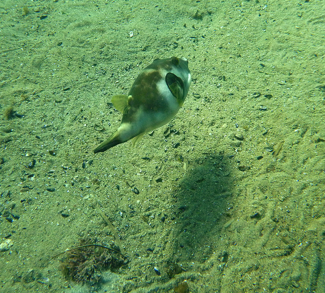 South Australian wildlife, South Australian tourism, Wildlife photography Wildlife stories, Grange, Grange jetty, puffer fish