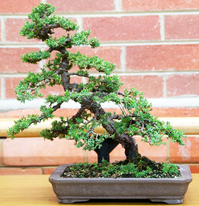 bonsai, melbourne, exhibition, garden, event