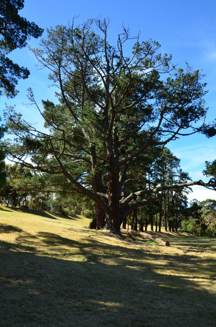 Crystal Lake, Macclesfield, Arbor day pine trees
