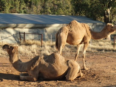 Camels in dirt