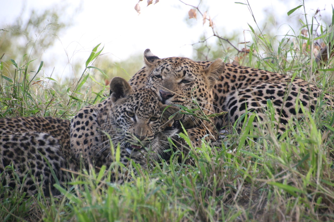leopard and cub londolozi africa