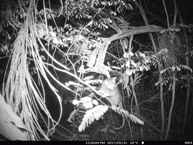 Ring tailed possum on wildlife camera