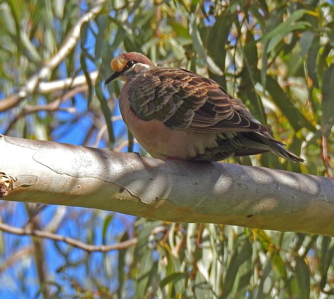 South Australian wildlife, South Australian tourism, Wildlife photography Wildlife stories, nature, Mitcham Trails, Randell Park Reserve, bronzewing pigeon