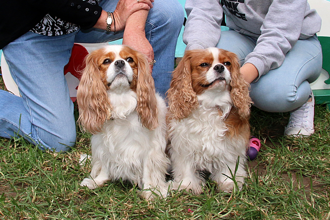 Cavalier, King, Charles, Spaniel, Capers, Funday, Matching Pair,