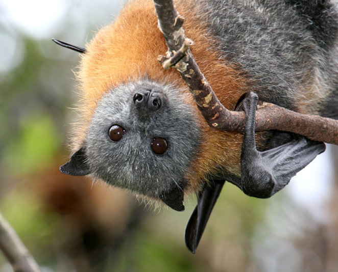 Grey-headed flying-fox male close-up view. Photo by Vivien Jones