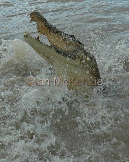 jumping crocodile, Northern territory, Mary River, Ian McKenzie, National Park