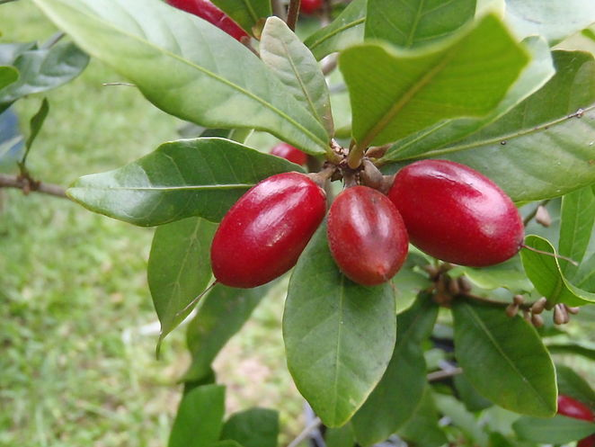 miracle berry, miracle fruit, miraculin, unusual fruit, tropical fruit, unusual fruit to grow in your backyard