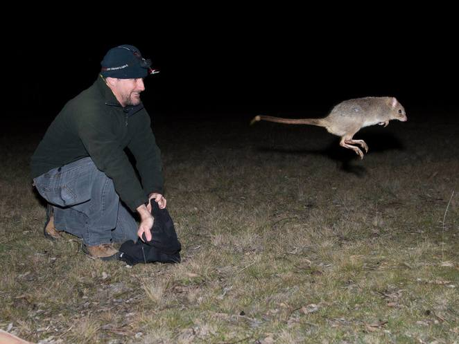 mulligans flat woodlands sanctuary, canberra, forde, things to do in forde, easterm bettong, wild, ACT, national parks, animal sanctuarys,