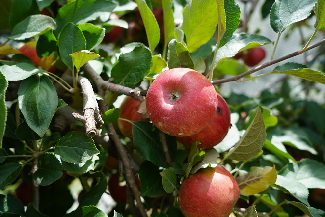 Pick your own, sydneyeats, Apple picking, Hawkesbury harvest, sydneyfoodie, fun for kids, Sydney day trip, Bilpin