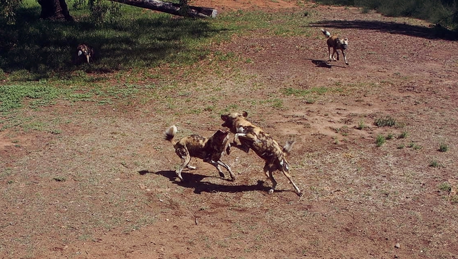 African Dogs Dubbo Zoo