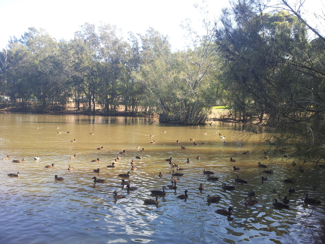 birds on water, maluga passive park, riparian vegetation