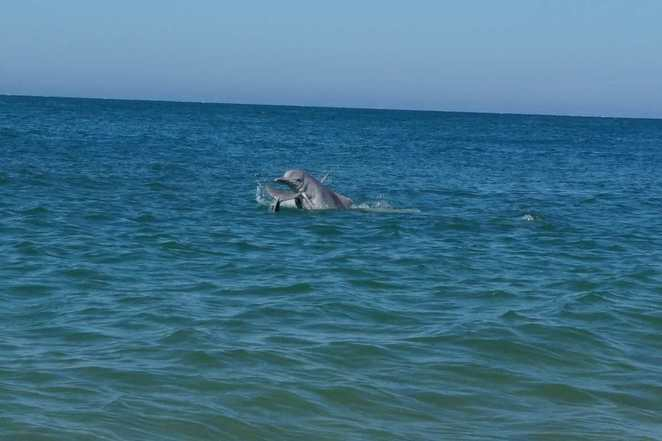 Dolphins playing on Bribie Island