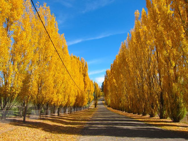 Poplars in Autumn, Mitchell Highway on the road to Orange, Central West NSW