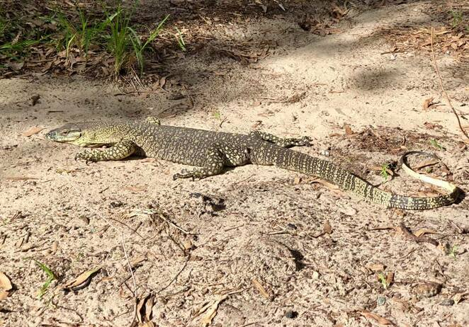 Crafty goannas scour the campground for unattended food