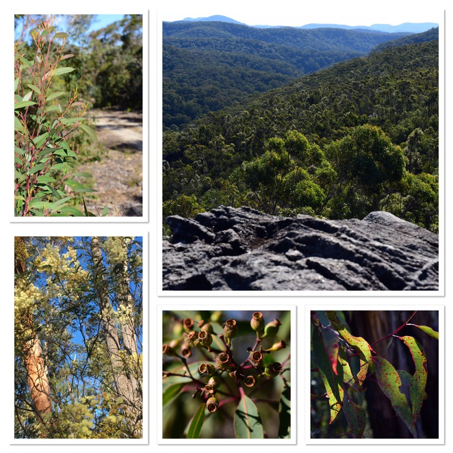 Linden Ridge Train, Blue Mountains Bushwalk, Wattle flower, eucalyptus trees, bush views, jade jackson photography, gumnuts