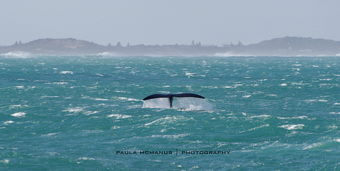 Southern Right Whale Middleton Victor Harbor