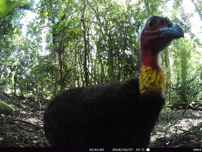 Startled Brush Turkey