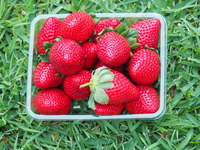 strawberries, Rolin Farms